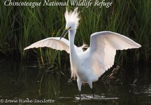 Snowy egret back lit wings up.