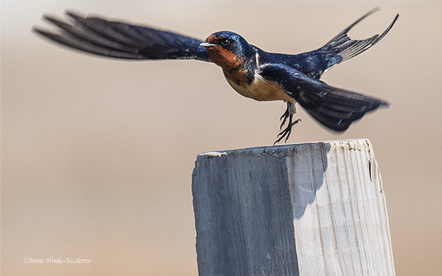Little blue heron landing on post.