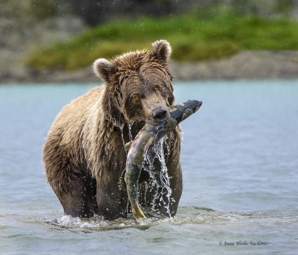 Bear with fish.