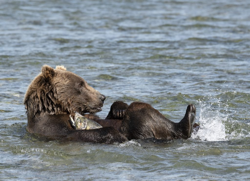 Brown Bear at McNeil River holding onto fish it caught.