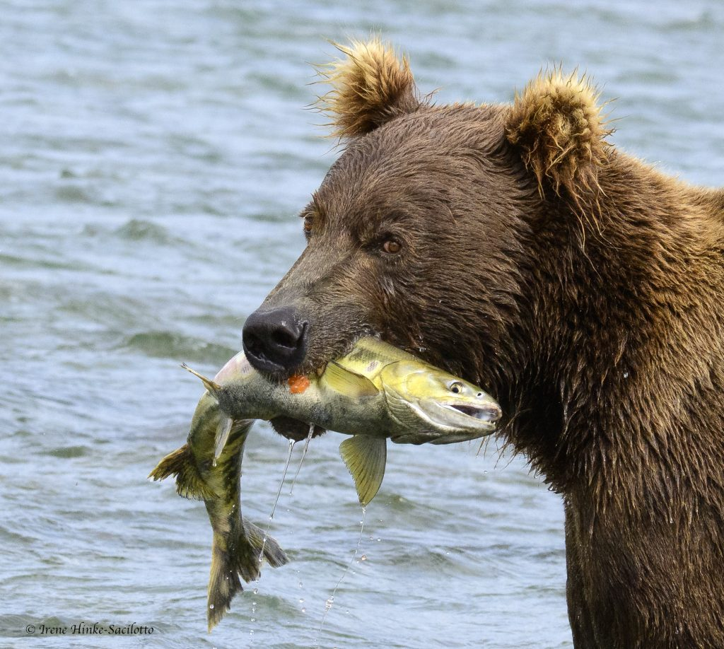 Brown bear at McNeil River with silver salmon.