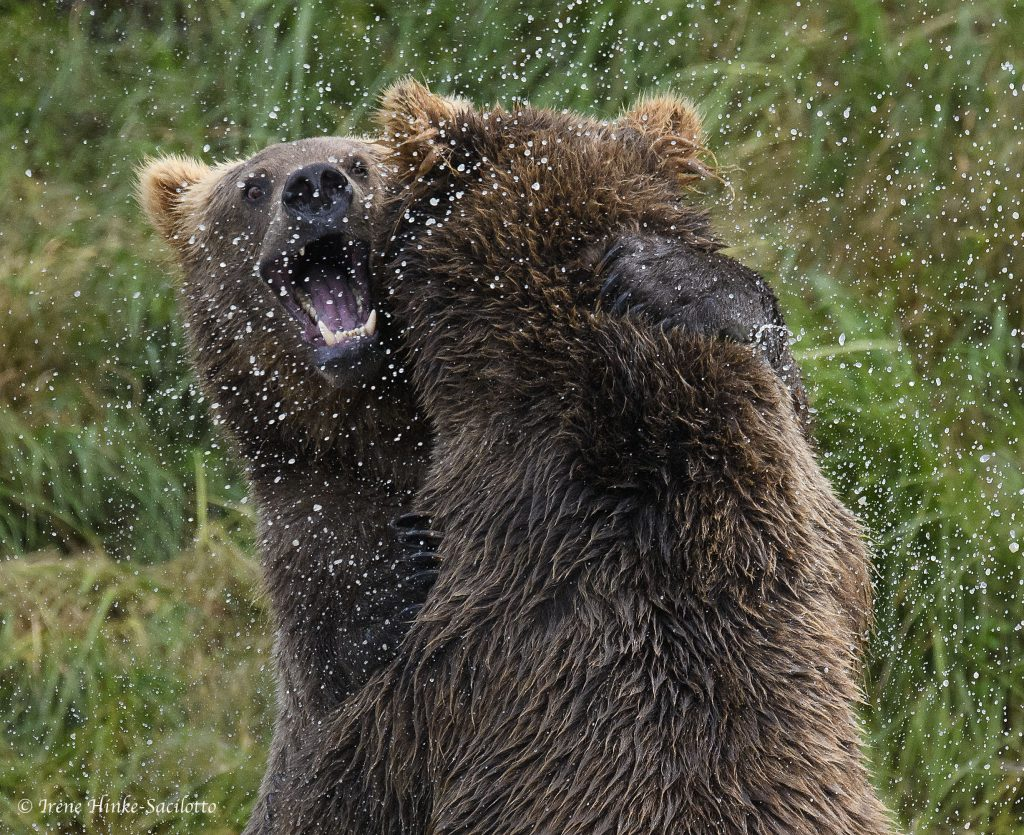 Brown bears at McNeil River lower falls.