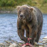 McNeil Rivier bear.