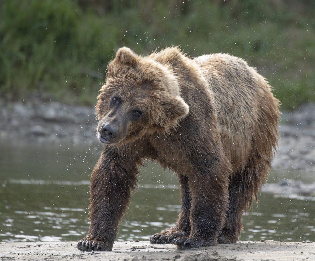 Bear at lower falls at McNeil River