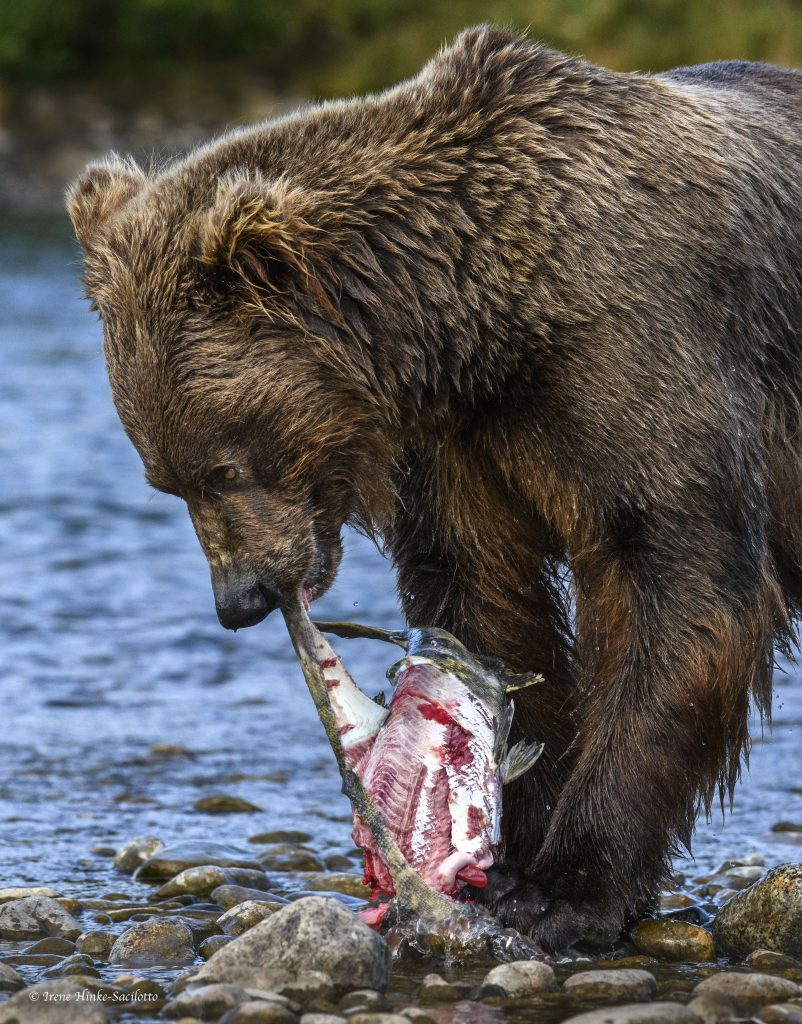 Bear skinning salmon before eating
