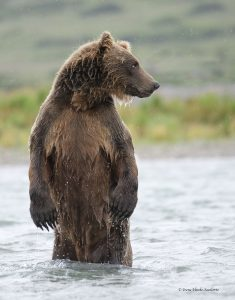 Brown bear at McNeil River State Game Sanctuary.
