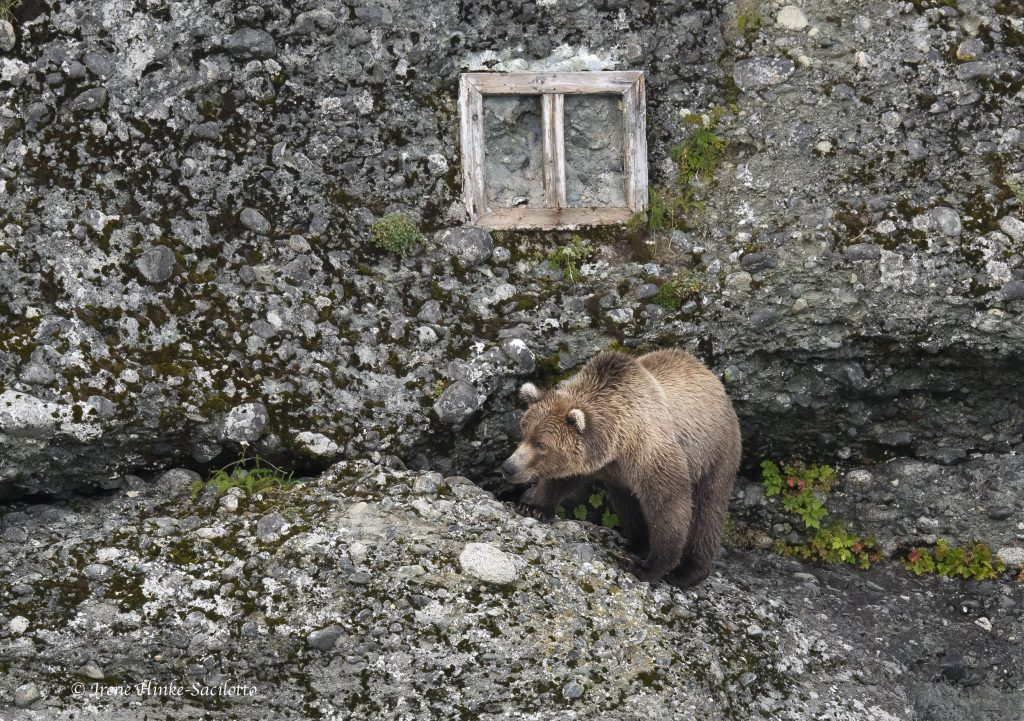 Bear walking on steep wall.