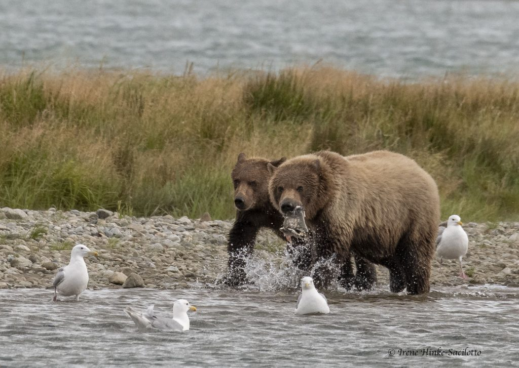 Adult bear with fish.