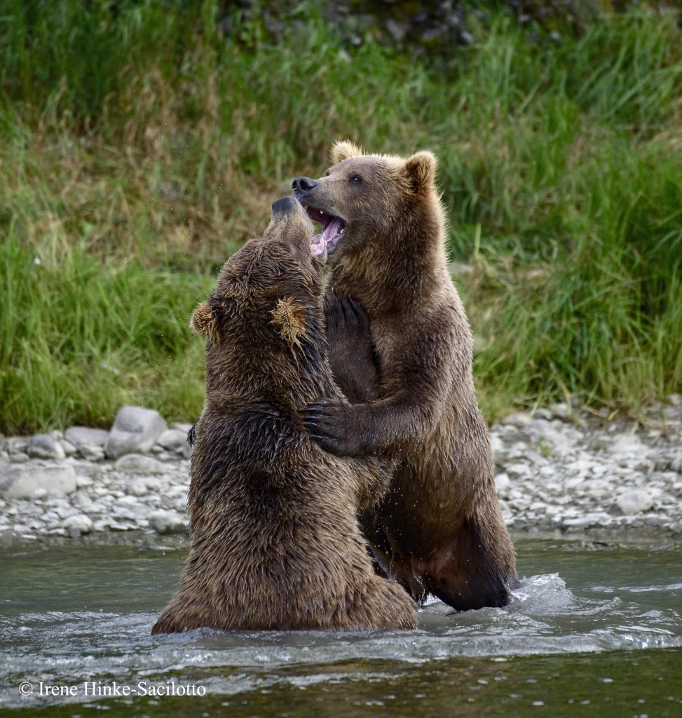 Young bears sparing at lower falls.