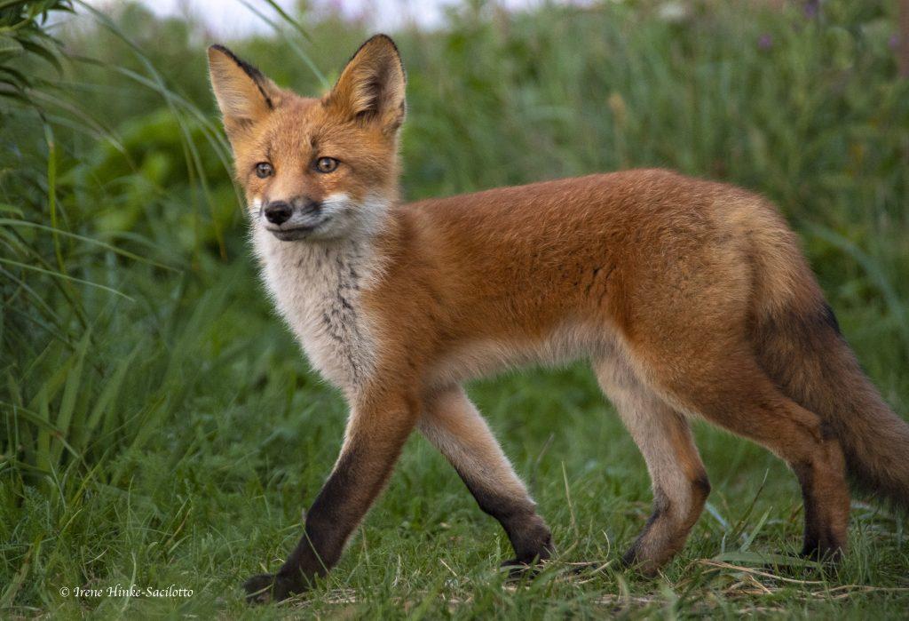 Red fox at camp.