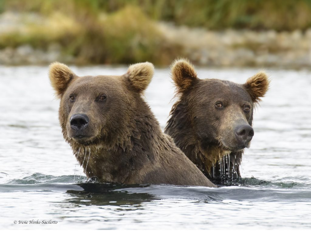 Bears in River.