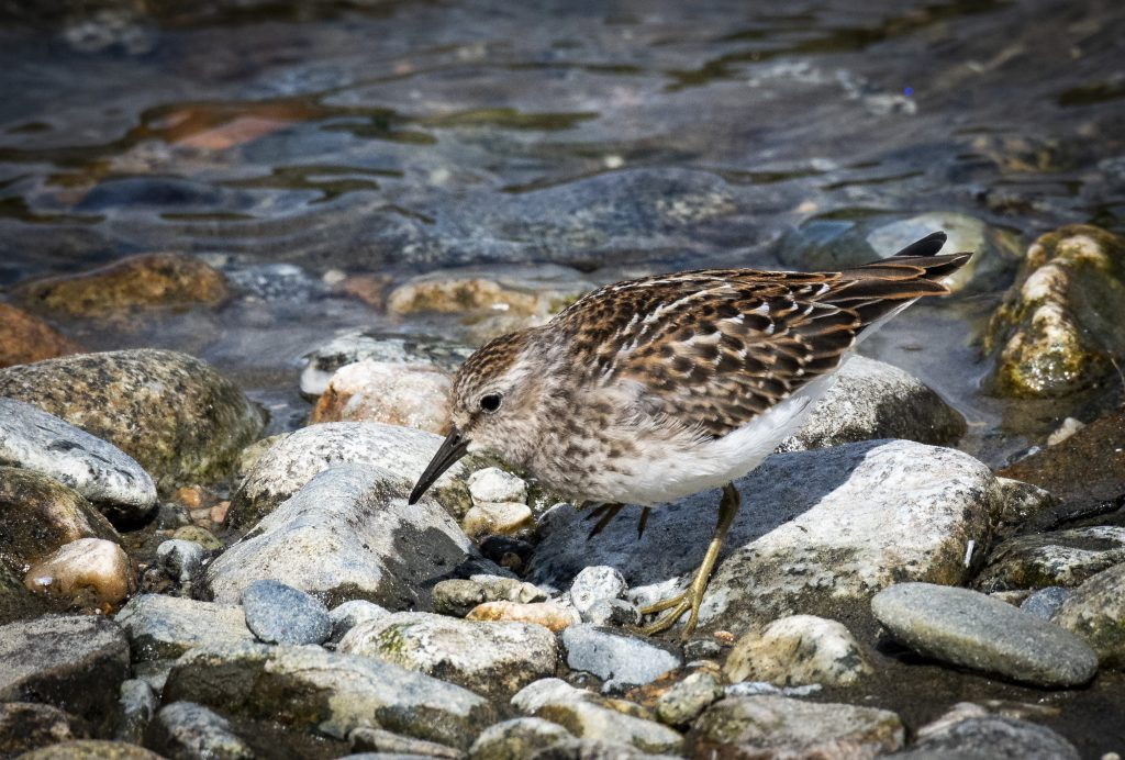 Least Sandpiper feeding along McNeil River.