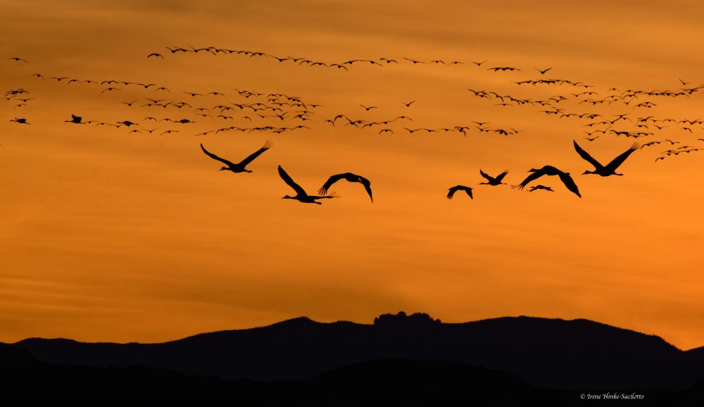 Sandhill cranes flying,