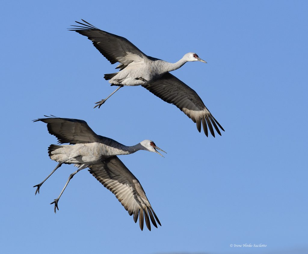 Cranes landing in field.