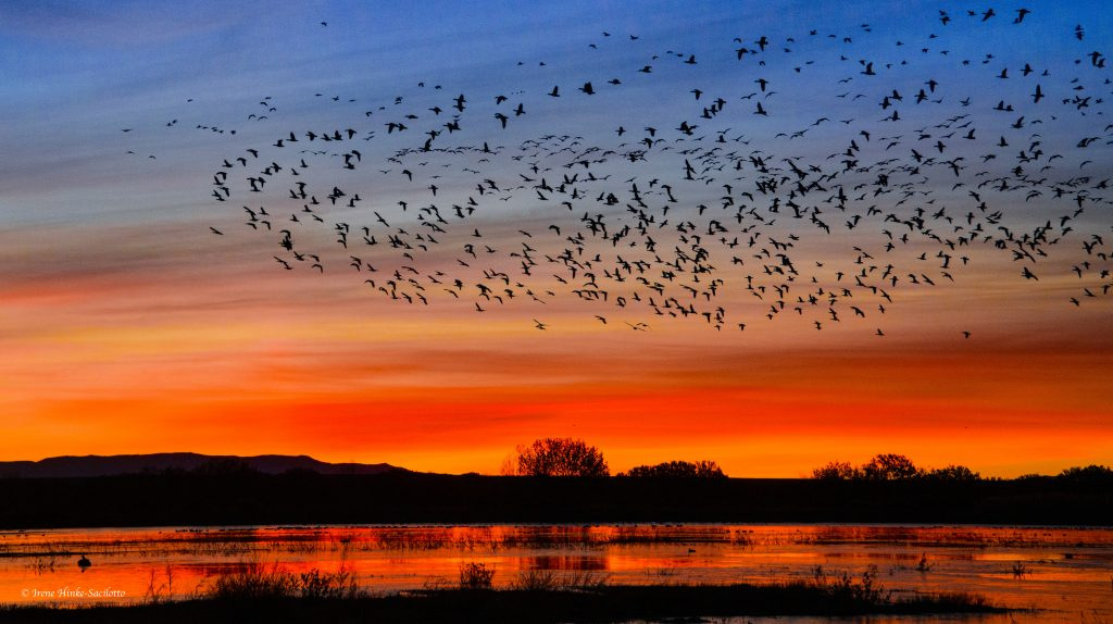 Dawn with geese.