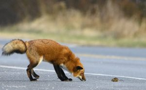 Red fox and mouse in road