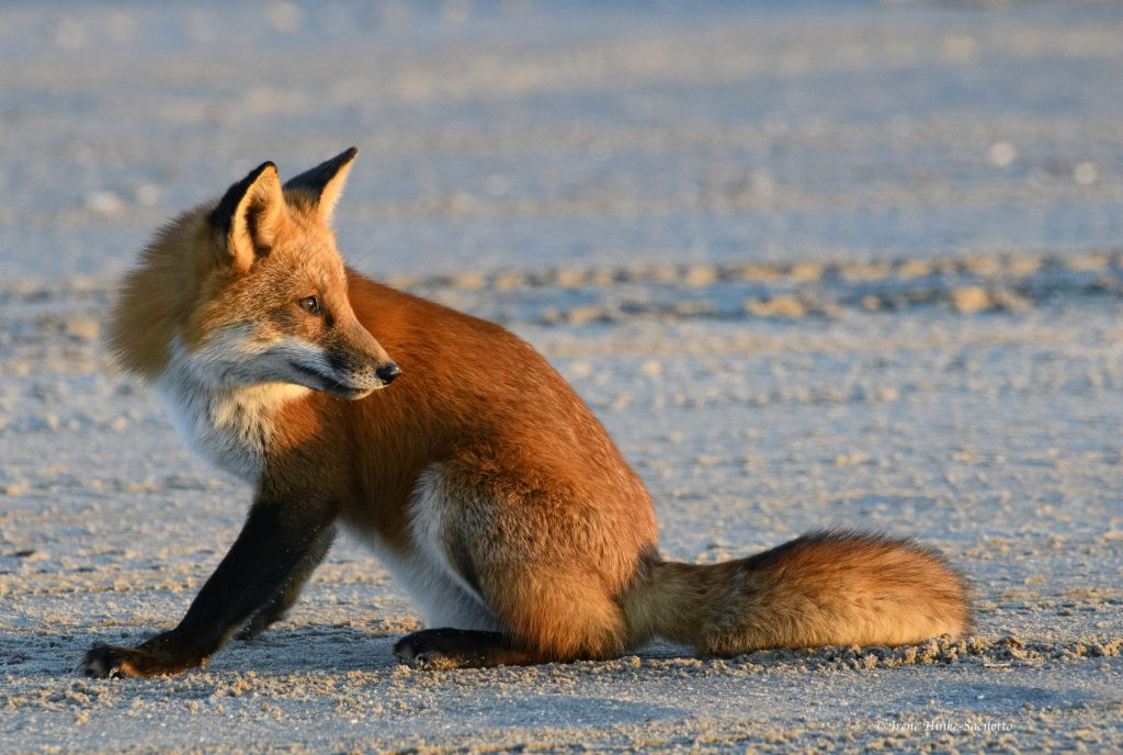 Red Fox on beach.