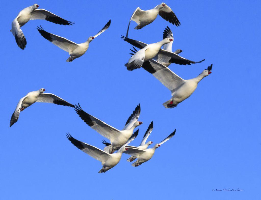 Sandhill cranes dispute.