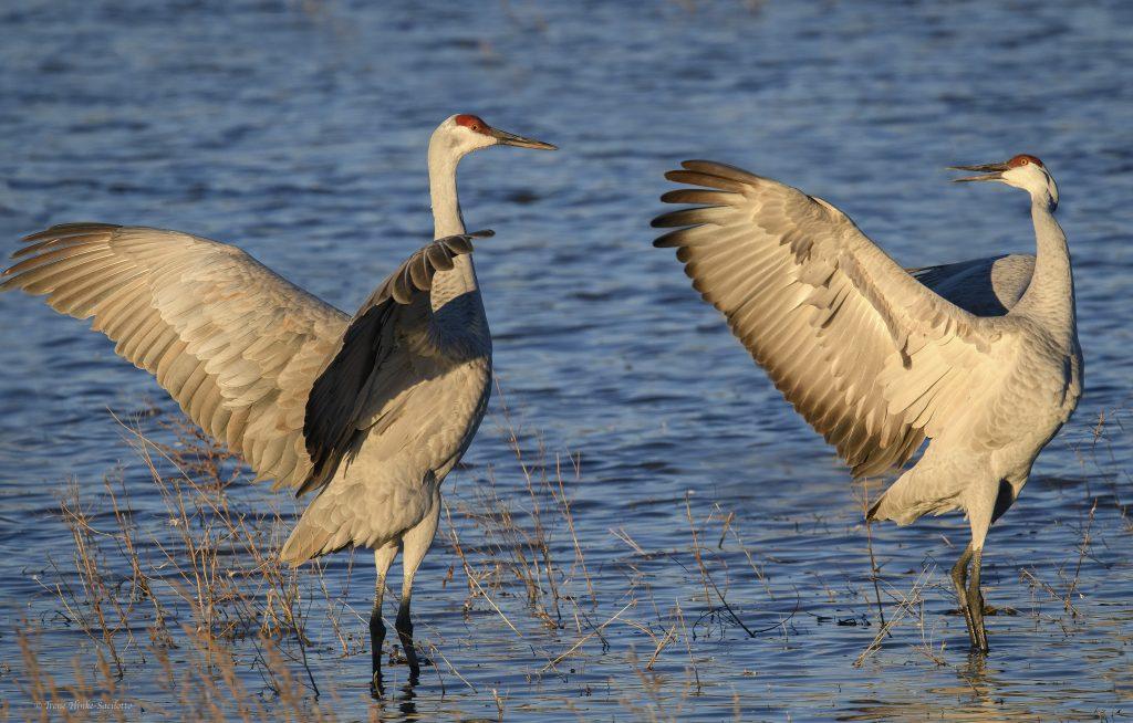 Sandhill cranes greeting.