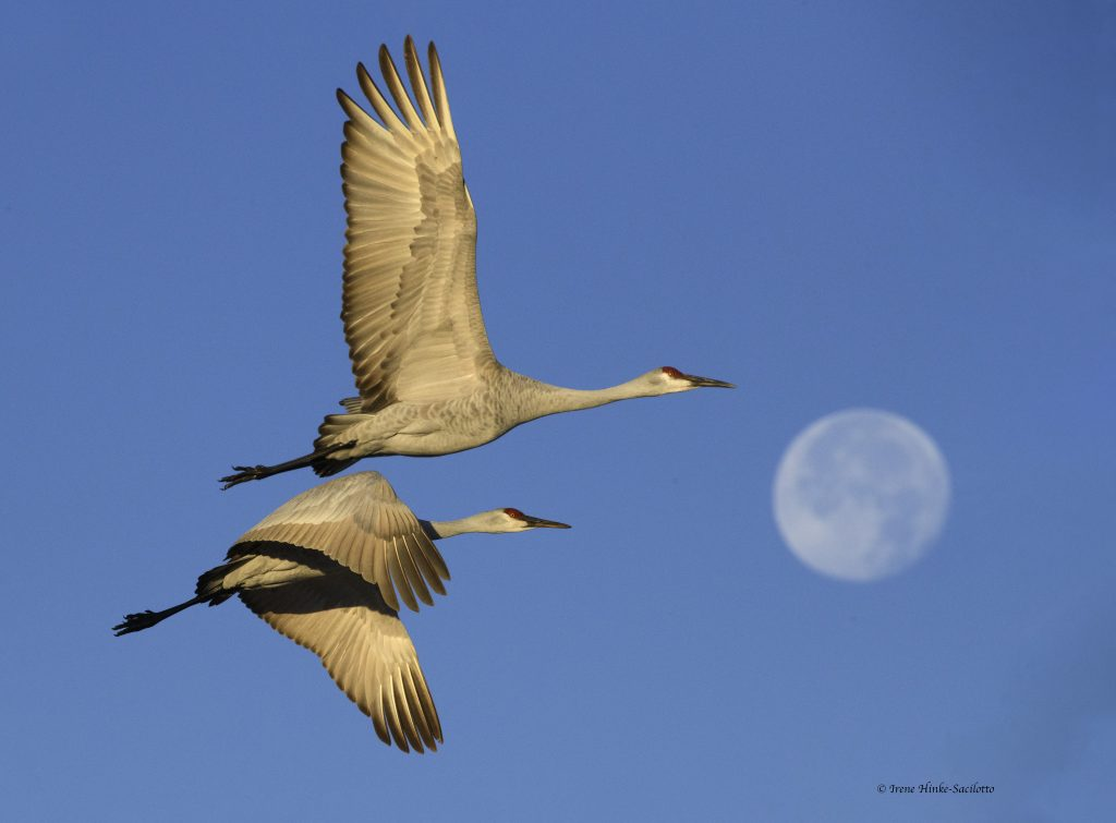 Sandhill Cranes and Moon.