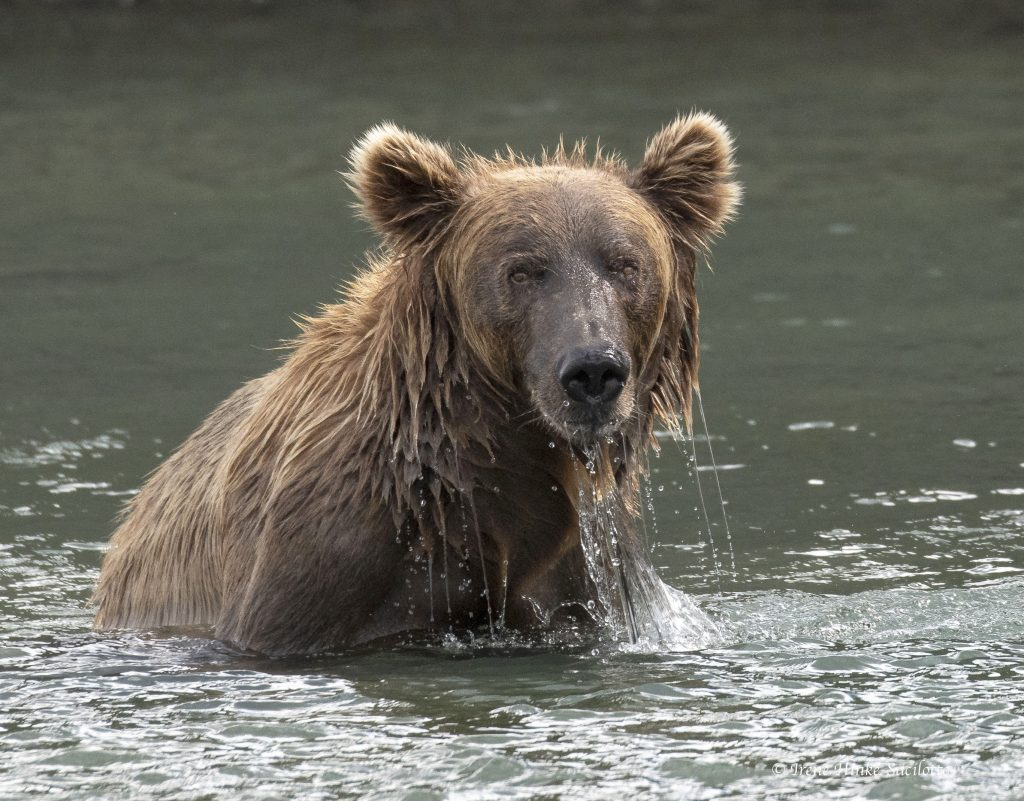 Brown Bear raising fishing.