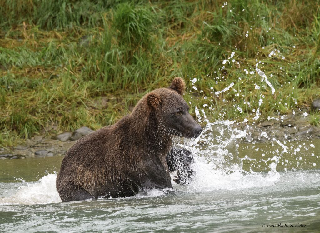 Brown bear at lower falls of Mc Neil River