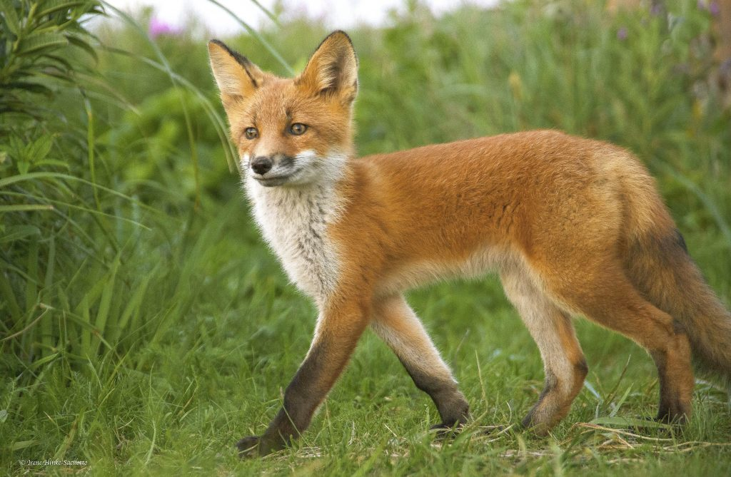 Young red fox.