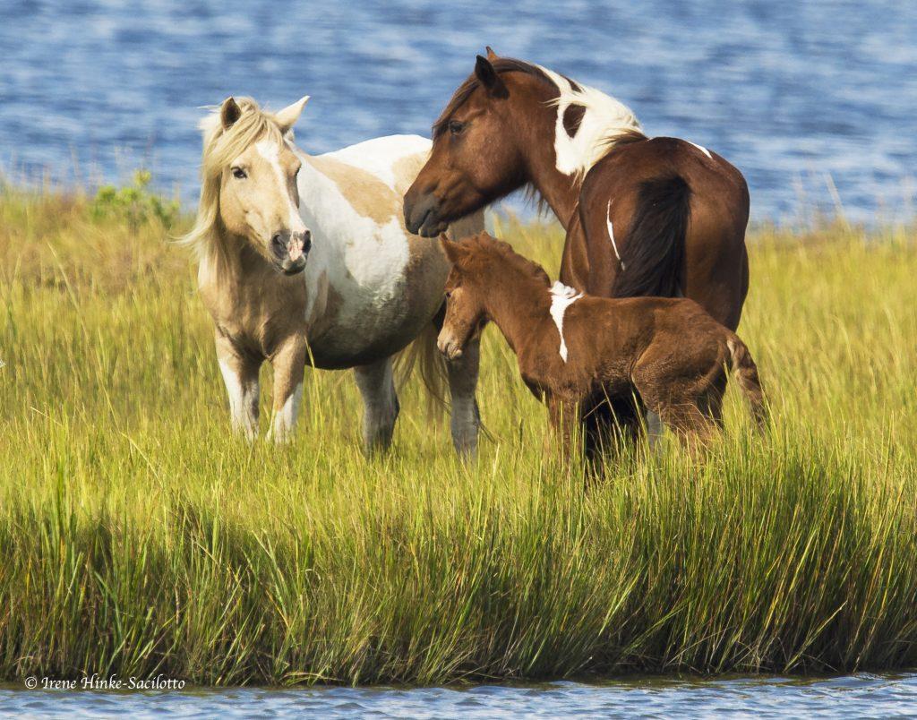 Wild pony family.