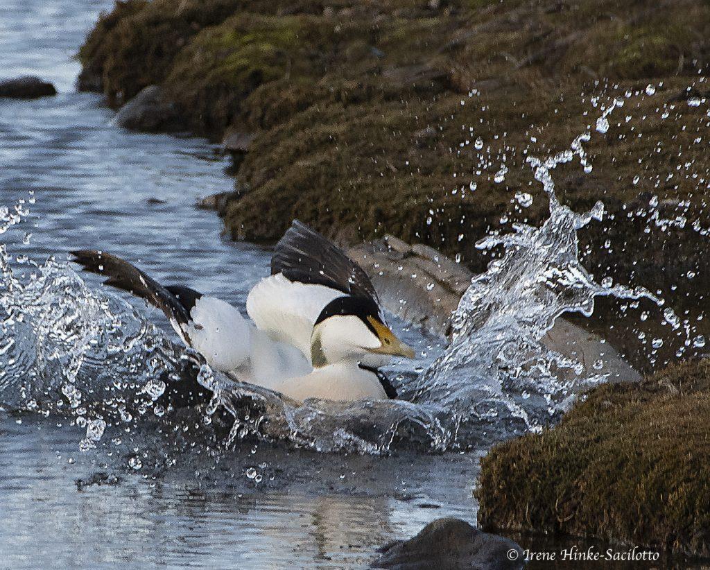 Eider landing in water