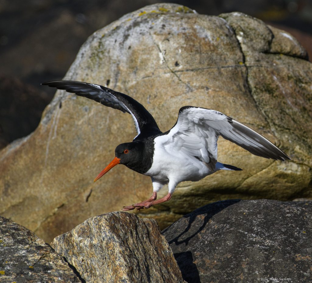 Oystercatcher near nest.
