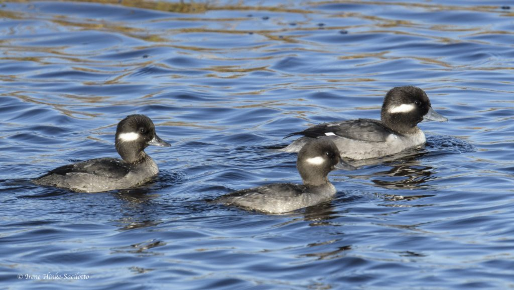 Bufflehead ducks swiming
