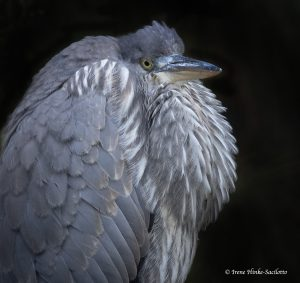 Great Blue Heron fluffing feathers