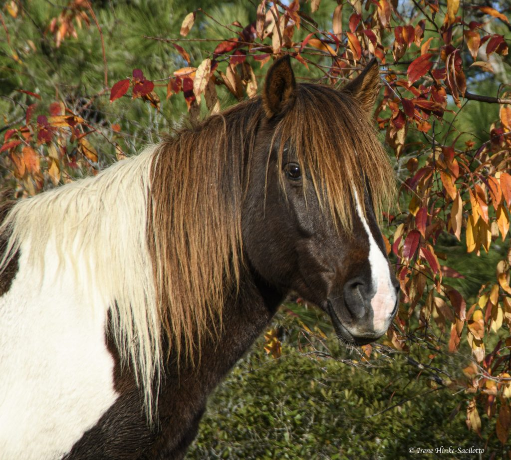 Chincoteague Pony with orange leaves.