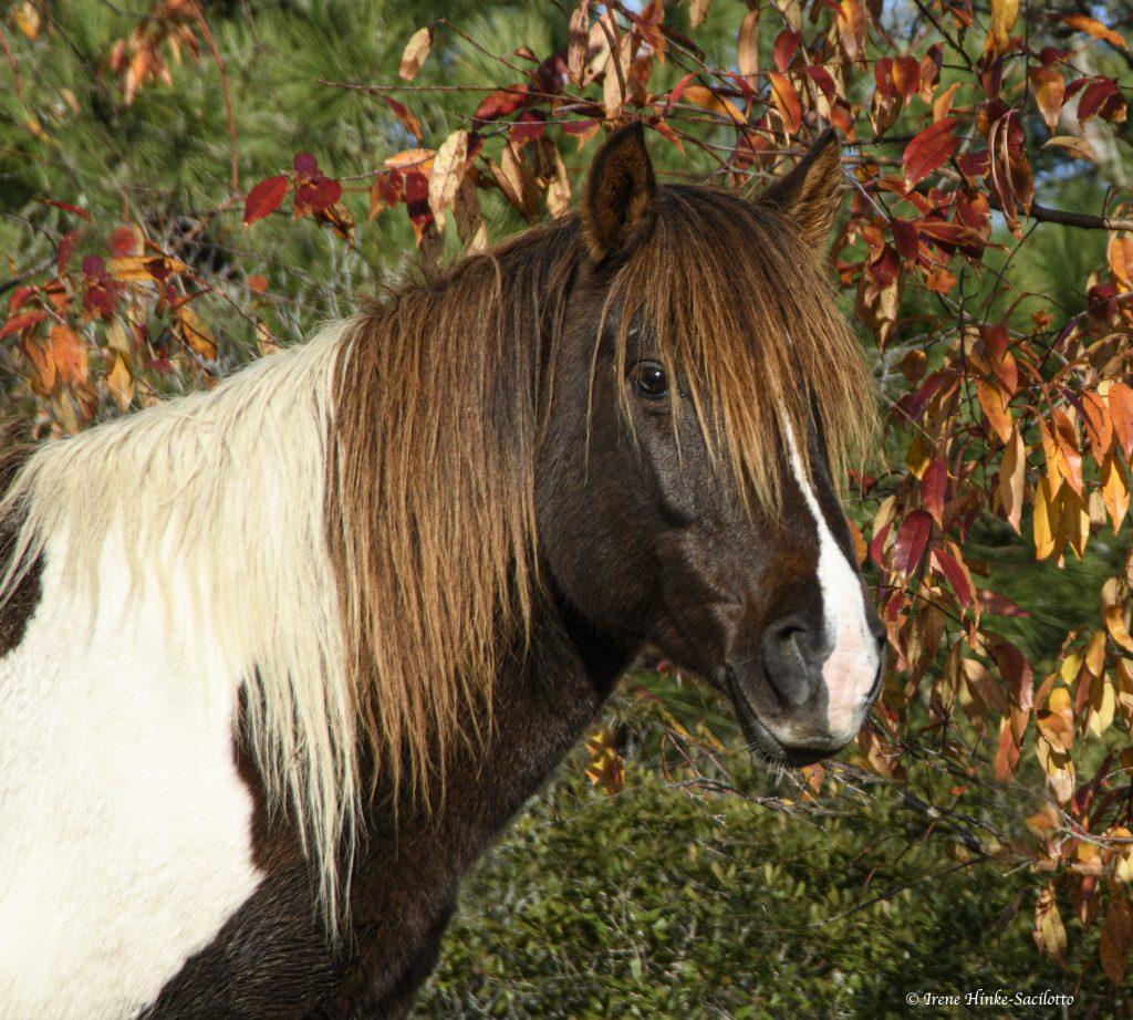 Chincoteague Pony with orange leaves.