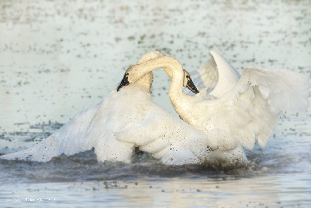 Tundra Swan Fight