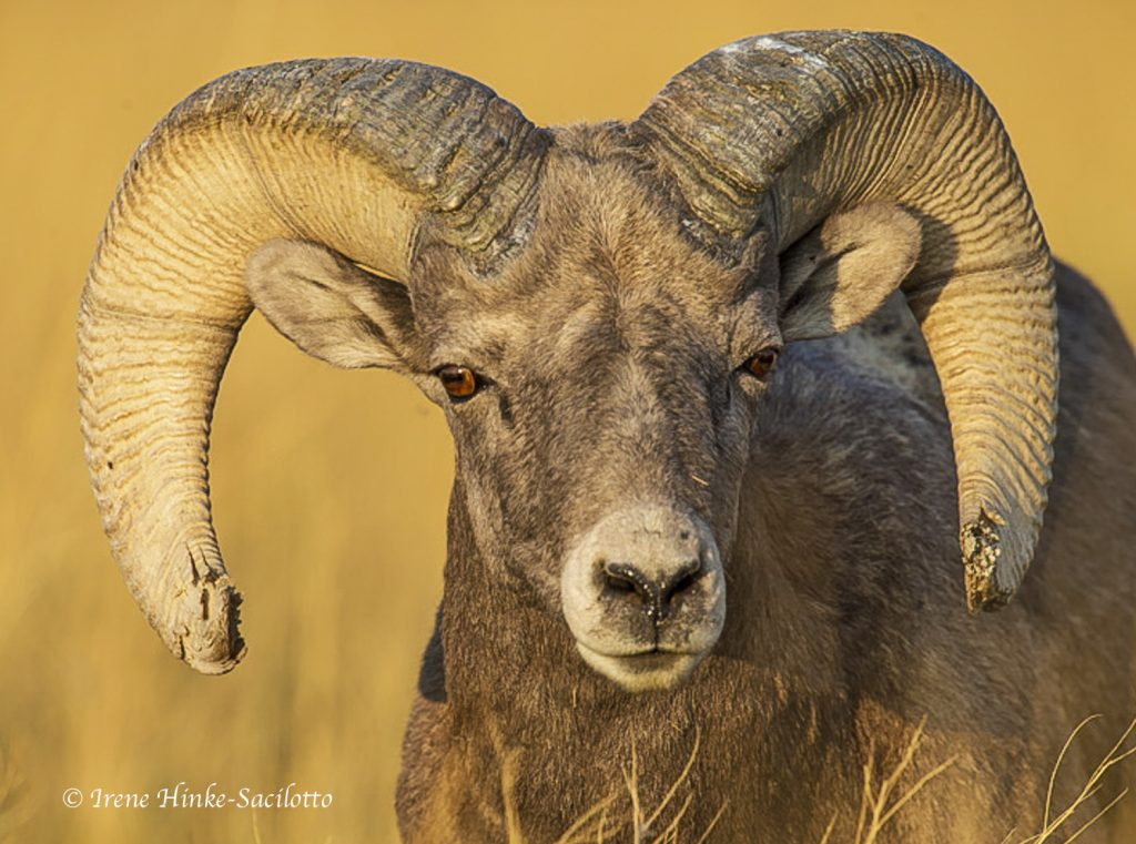 Bighorn Sheep facing forward.