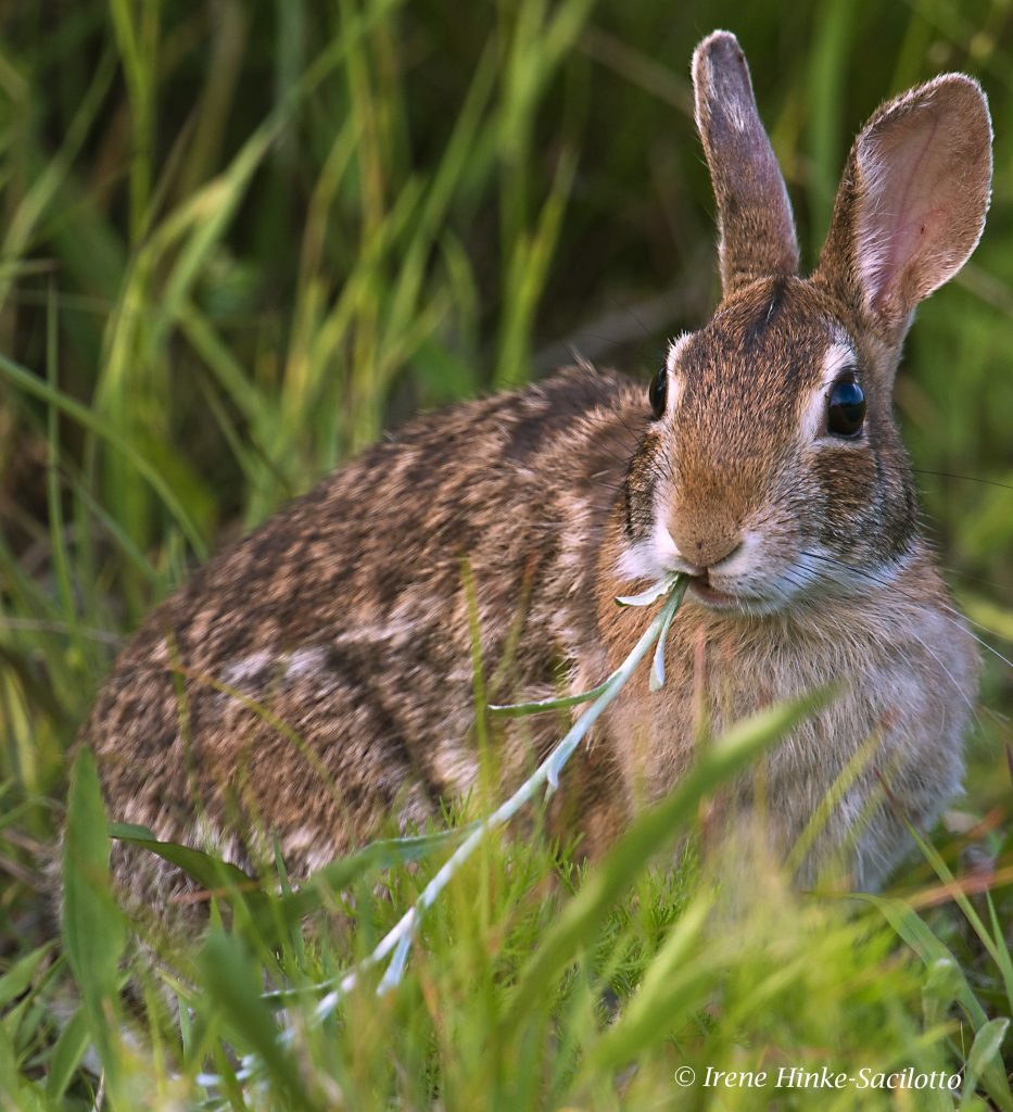 Rabbit feeding on grasses near Window Notch.