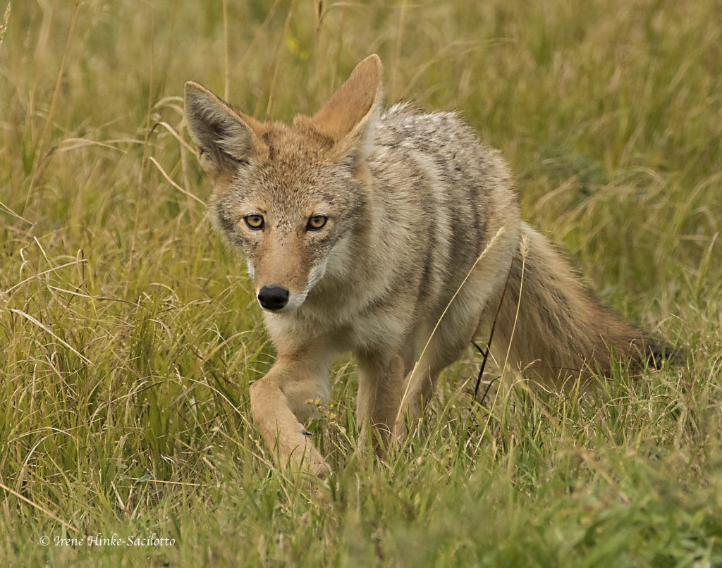 Coyote stalking prey.