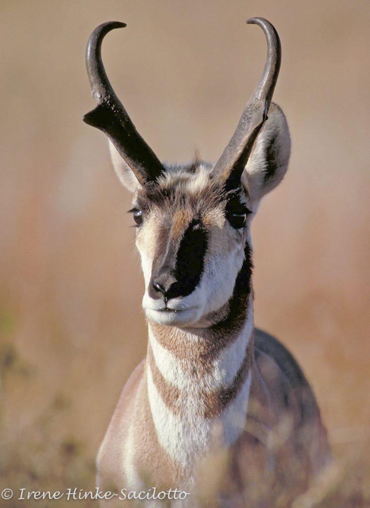 Pronghorn Antelope.