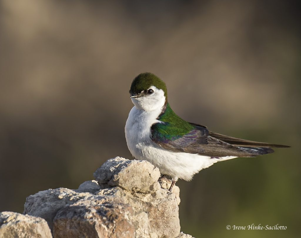 Violet-Green Swallow I the Badlands